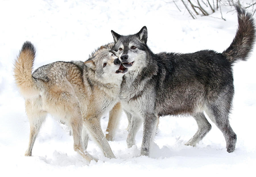 Play Wolf
