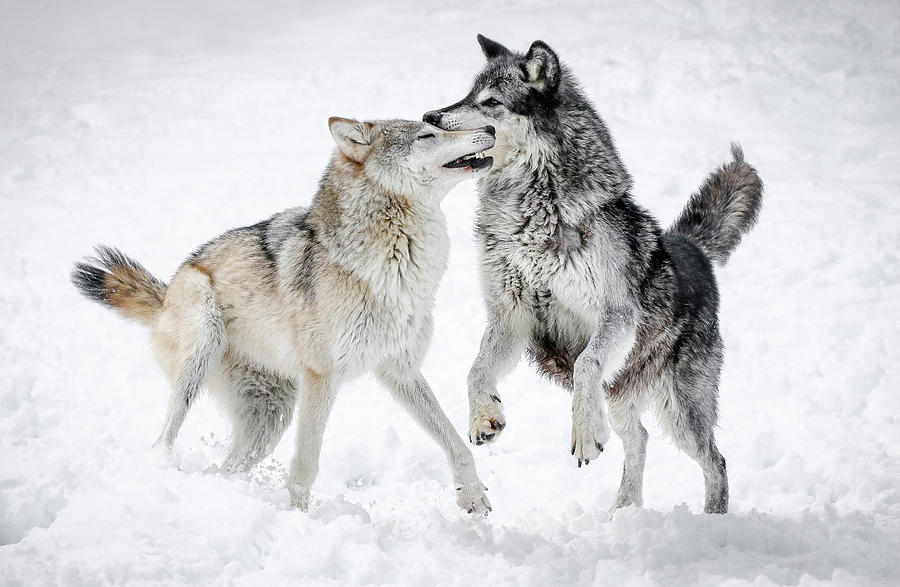 Playing Wolves