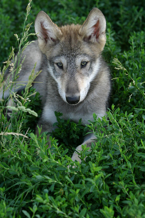 Wolf Pup Portrait Photograph by Shari Jardina