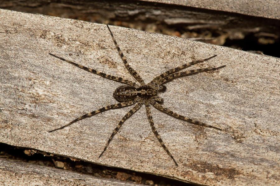 Spider Photograph - Wolf Spider by Jouko Mikkola