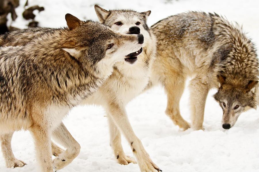 Animal Photograph - Wolves At Play by Melody Watson