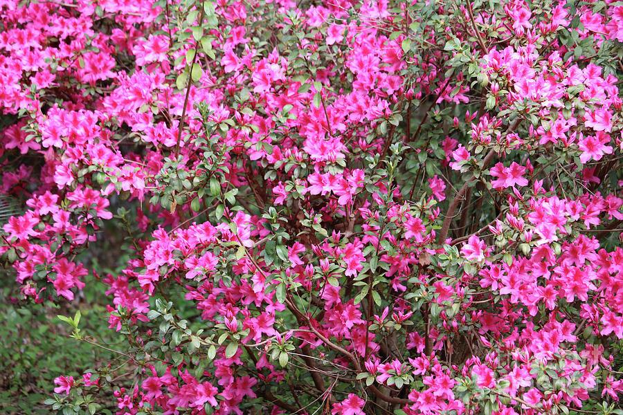 Azaleas Photograph - Wonderful Pink Azaleas by Carol Groenen
