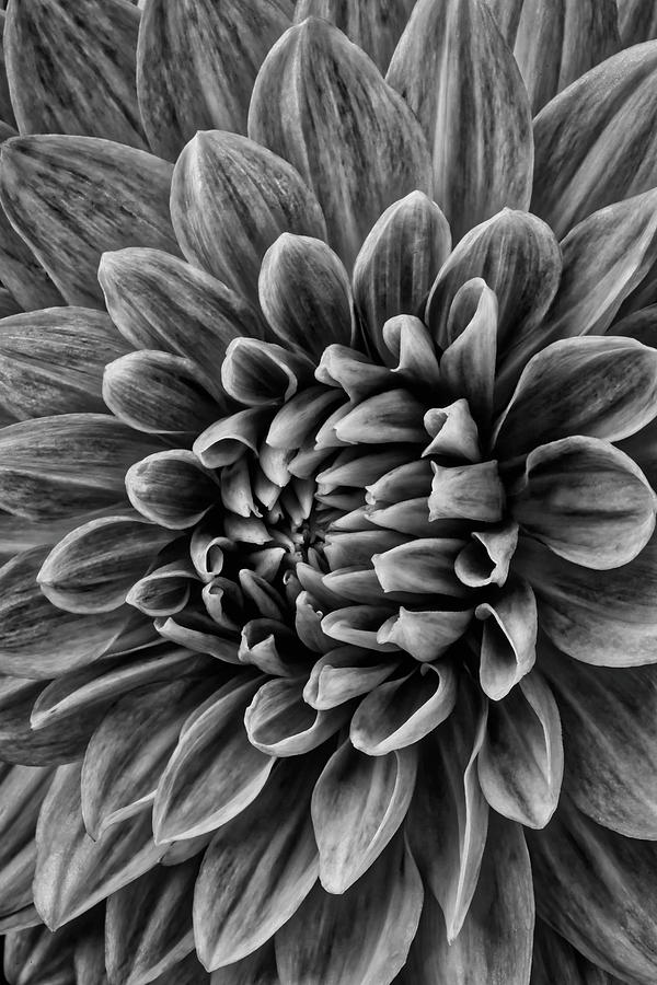 Vertical Photograph - Wonderful Tones Dramantic Dahlia by Garry Gay