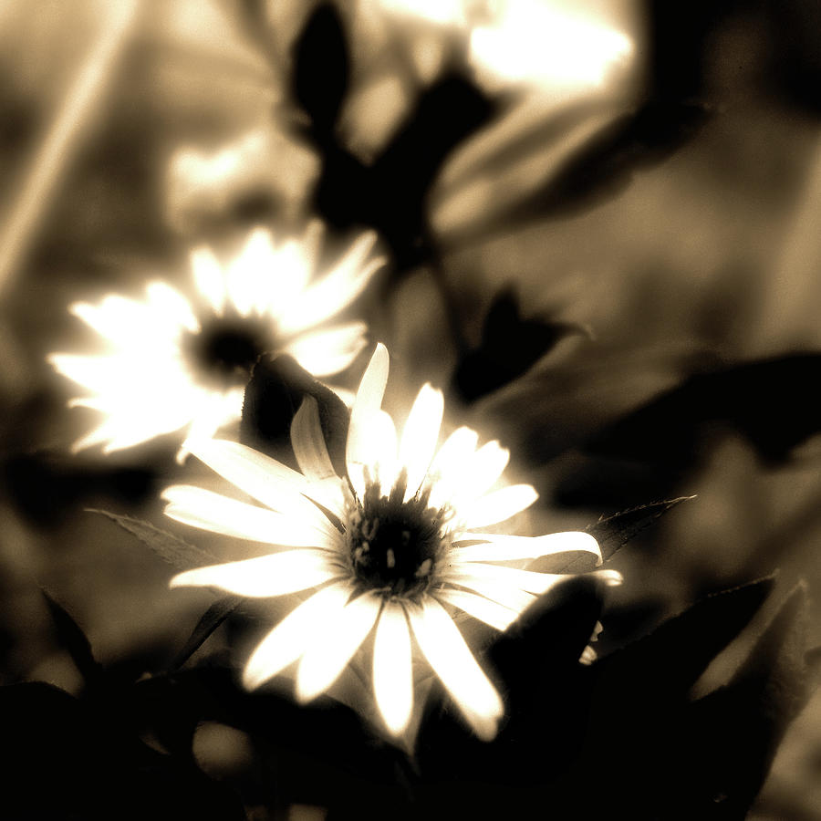 Sepia Photograph - Wont Last Long by Kenneth Krolikowski