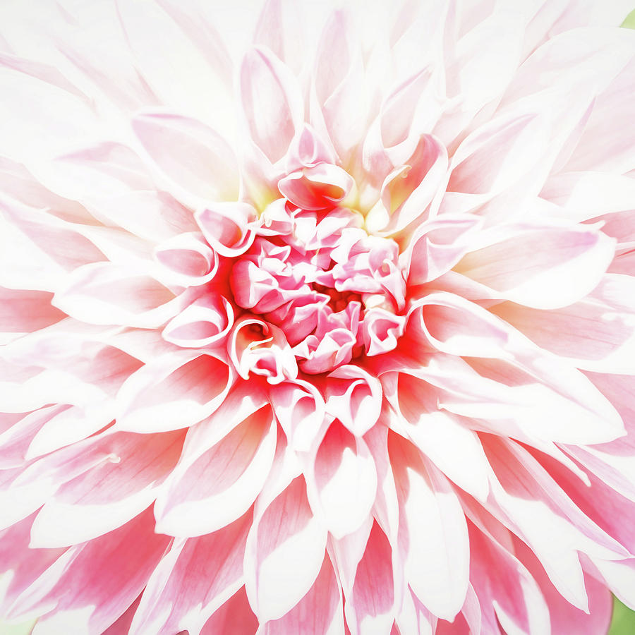 Pink Photograph - Wont To Love by Jessica Manelis