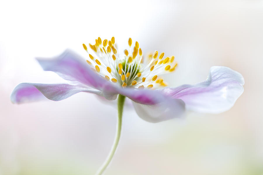 Flower Photograph - Wood Anemone by Mandy Disher