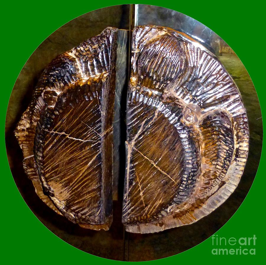 Wood Carved fossil by Francesca Mackenney