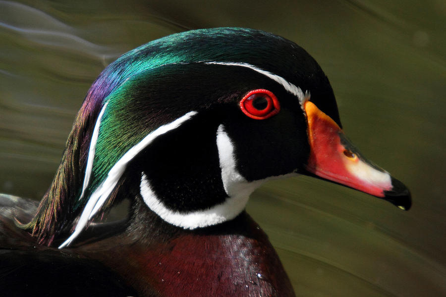 Wood Duck Photograph - Wood Duck At Beaver Lake Stanley Park Vancouver Canada by Pierre Leclerc Photography