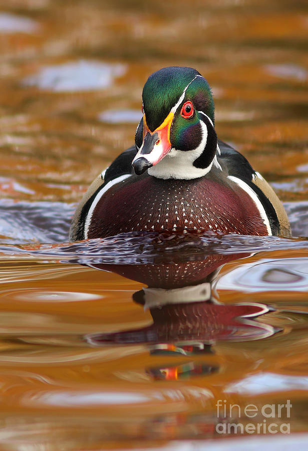Wood Duck Photograph - Wood-duck-male On The Golden Light by Mircea Costina Photography