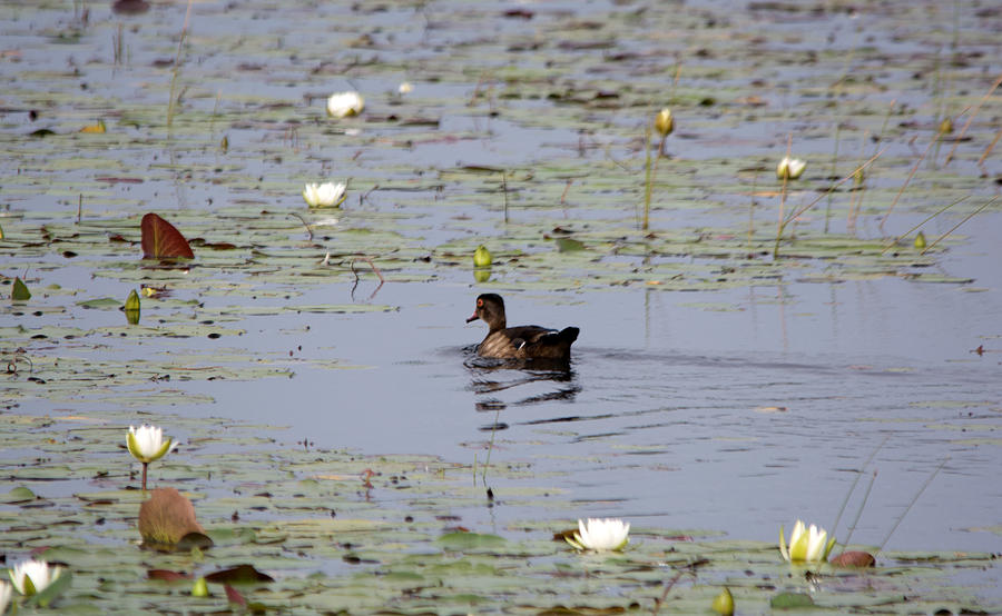 Wood Duck On Pond Photograph