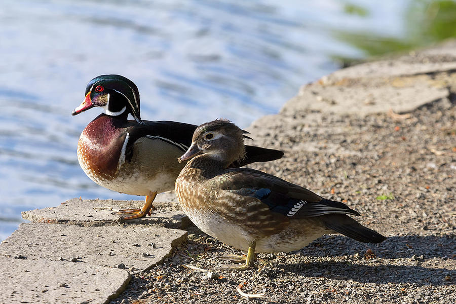 Wood Duck Photograph - Wood Duck Pair By The Lake by David Gn