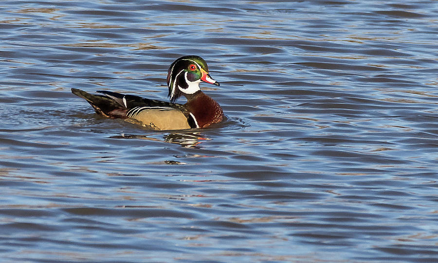 Wood Duck by Will Bailey