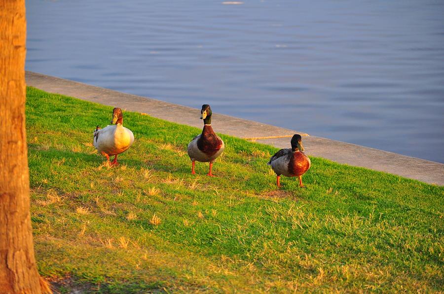 Birds Photograph - Wood Ducks At Dawn by Len Barber