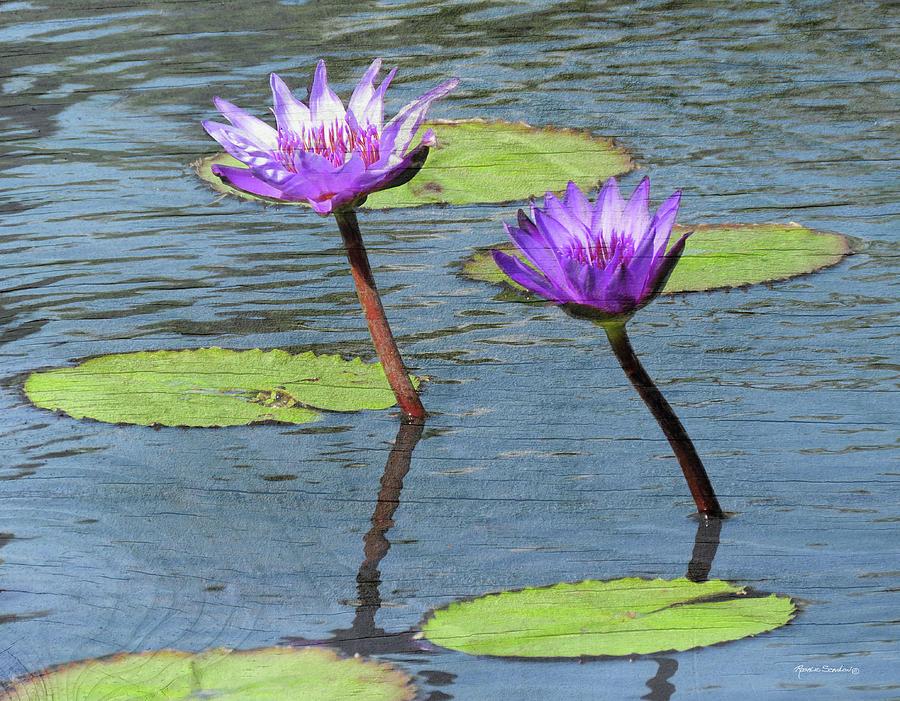 Water Lilies Photograph - Wood Enhanced Water Lilies by Rosalie Scanlon