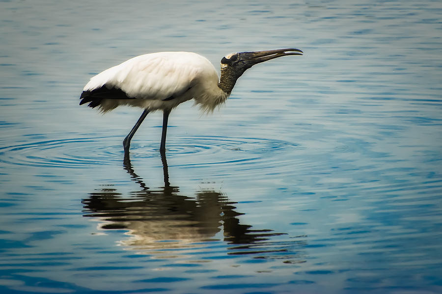 Stork Photograph - Wood Stork by Rich Leighton