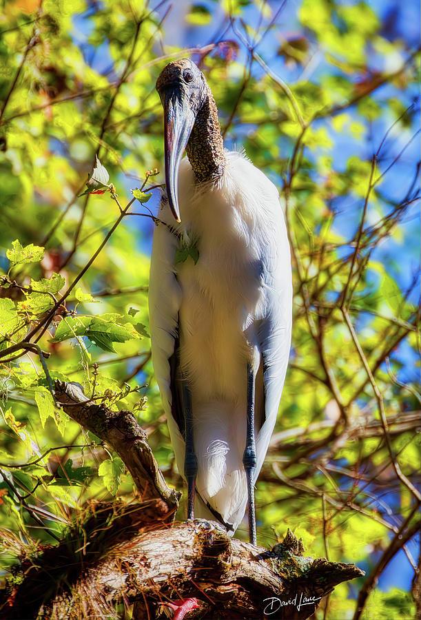 Wood Stork Stare by David A Lane