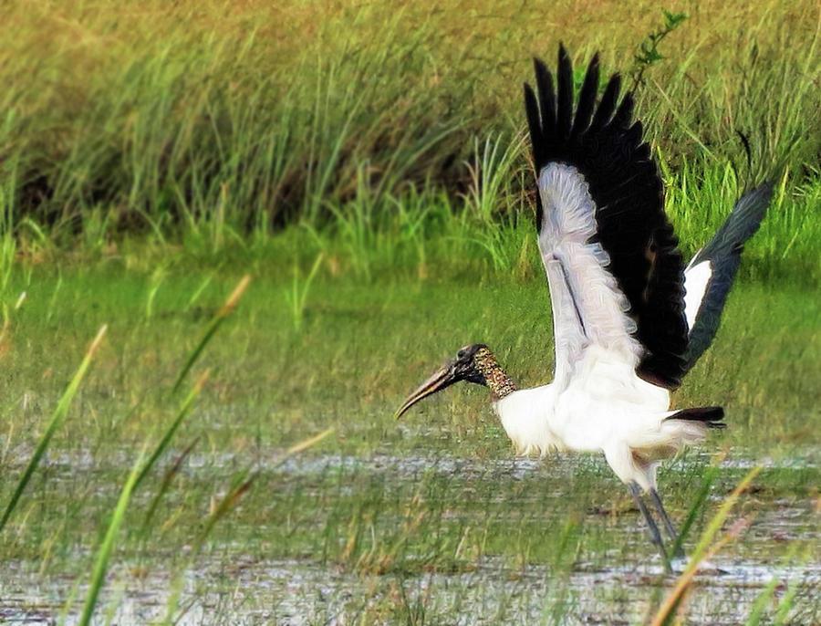 Wood stork takes flight by A H Kuusela