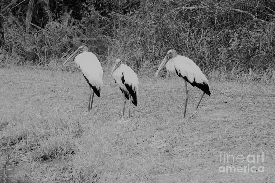 Wood Stork Photograph - Wood Storks By The Waters Edge by Edwina Hughes