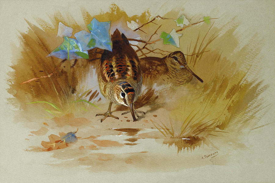 Woodcock Mixed Media - Woodcock In A Sandy Hollow By Thorburn by Archibald Thorburn