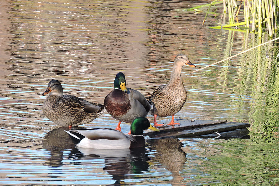 Woodies At Neary Photograph