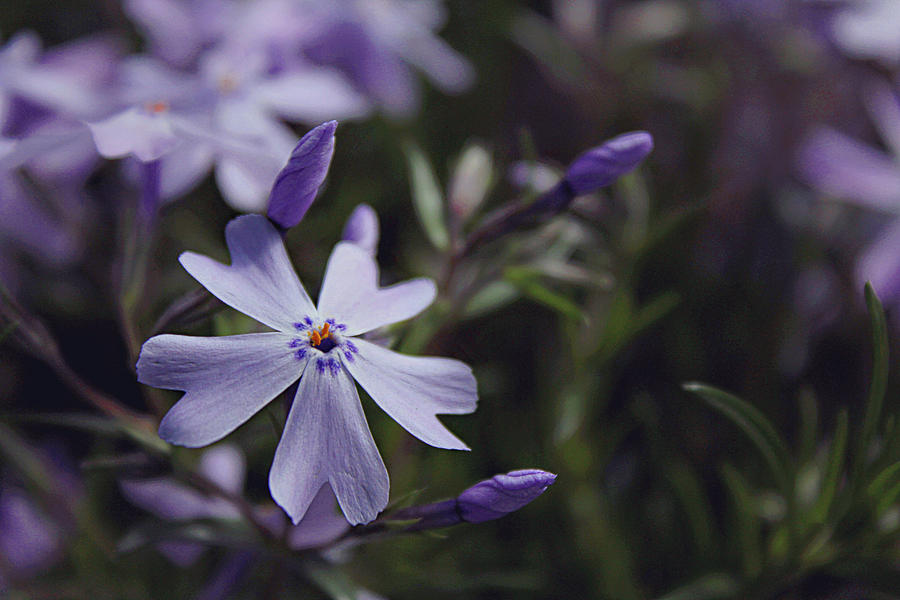 Woodland Phlox Photograph By Jessica Brawley