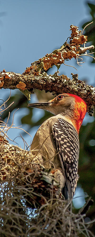 Woodpecker Closeup by Mike Covington