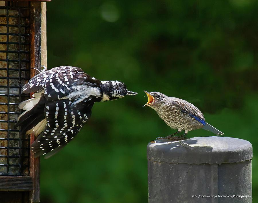 Woodpecker Feeding Bluebird by Robert L Jackson