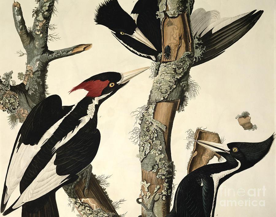 Woodpecker Drawing - Woodpecker by John James Audubon