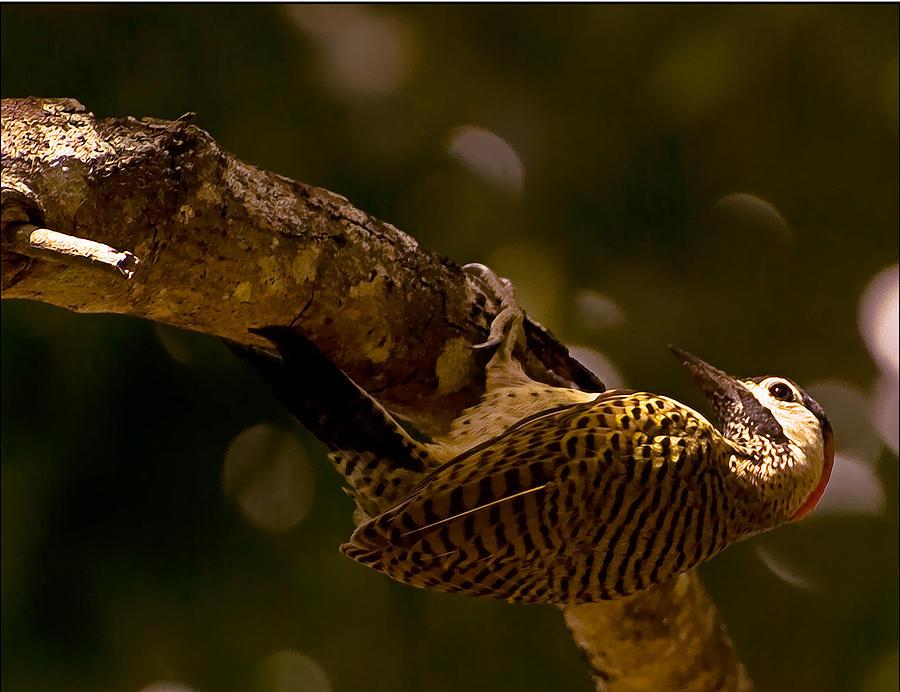 Woodpecker Photograph - Woodpecker by Galeria Trompiz