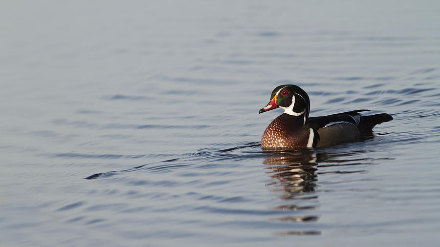 Wood Duck Photograph - Woody by Patrick Ziegler
