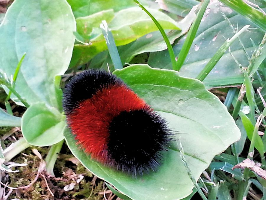 Woolly Worm Photograph