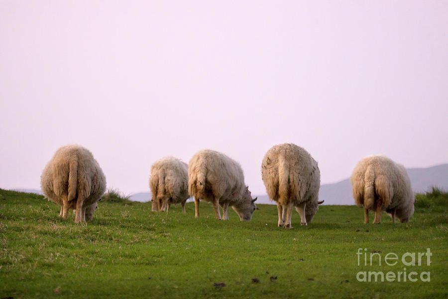 Sheep Photograph - Wooly Bottoms by Angel Ciesniarska