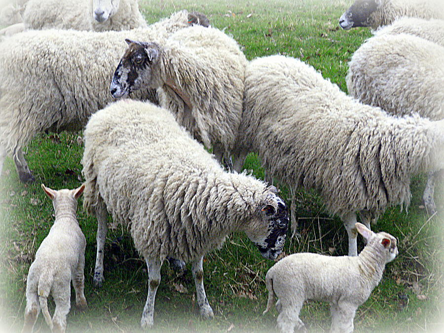 Sheep Photograph - Wooly Times by Mindy Newman