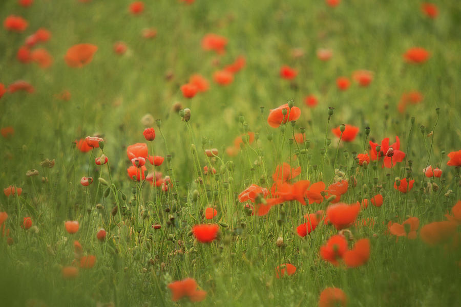 Poppies Photograph - Worcestershire Poppy Field by Wayne Molyneux