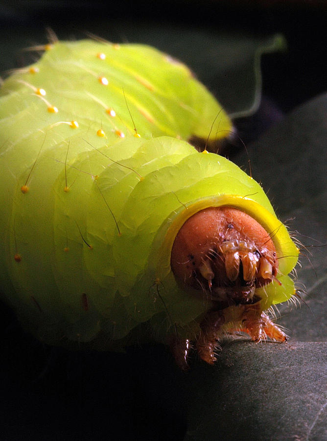 Caterpillar Photograph - Worm by Ken Howard