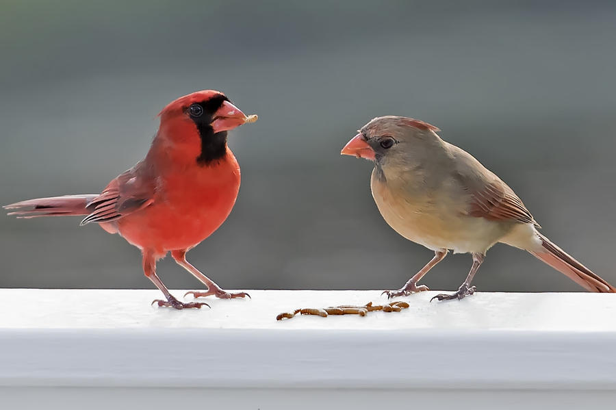 Cardinal Photograph - Worms For Breakfast by Janet Ogren