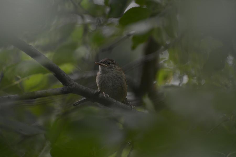 Bird Photograph - Wren by Paulina Roybal