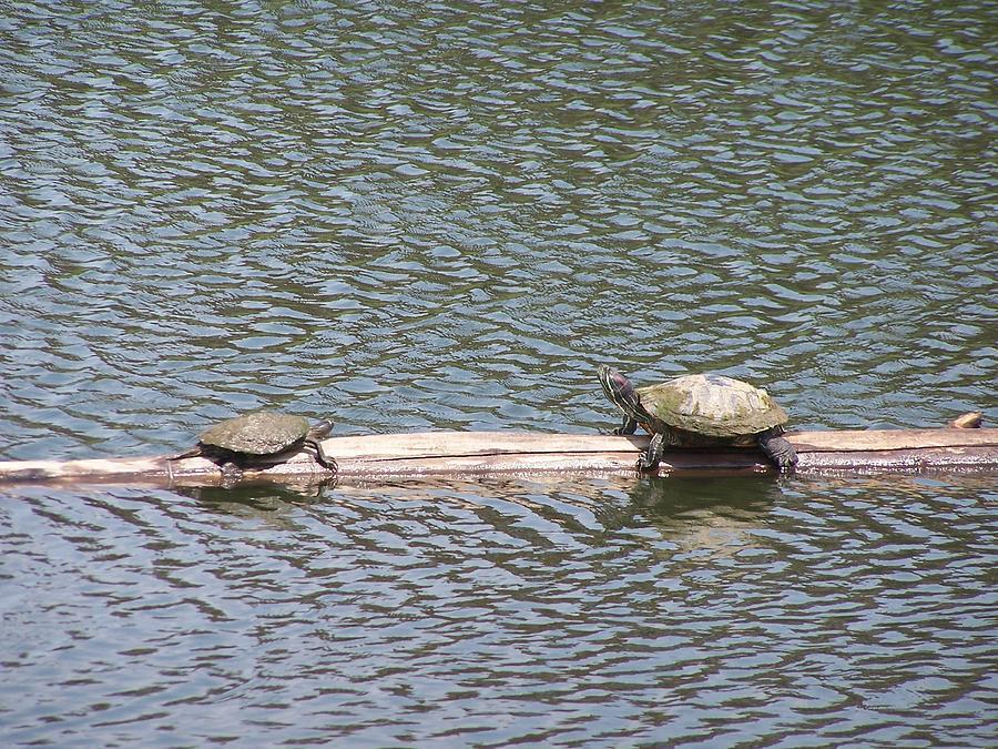 Turtles Photograph - Wrong Way by Vijay Sharon Govender