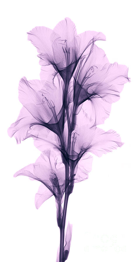 X Ray Of A Gladiola Flower Photograph By Ted Kinsman