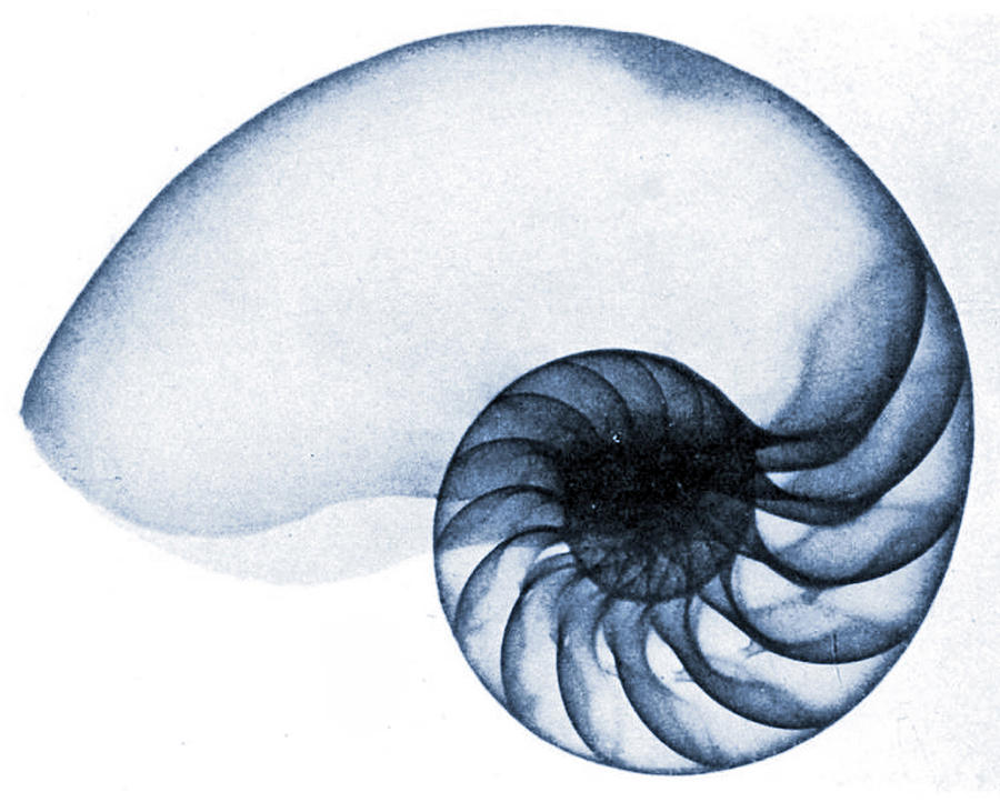 Shell Photograph - X Ray Of A Nautilus by American School