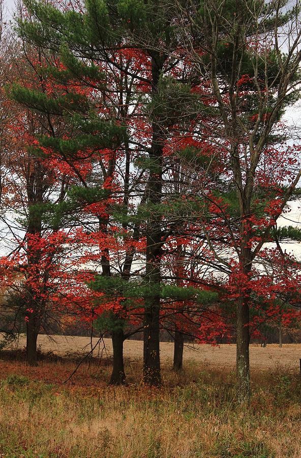 Conifer Photograph - Xmas Colors  by Jim Cotton