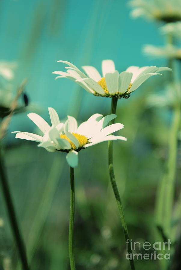 Daisies Photograph - Xposed - S07b by Variance Collections