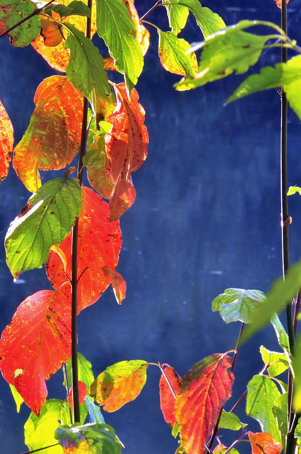 Yamhill River Red Leaves 5798 Photograph