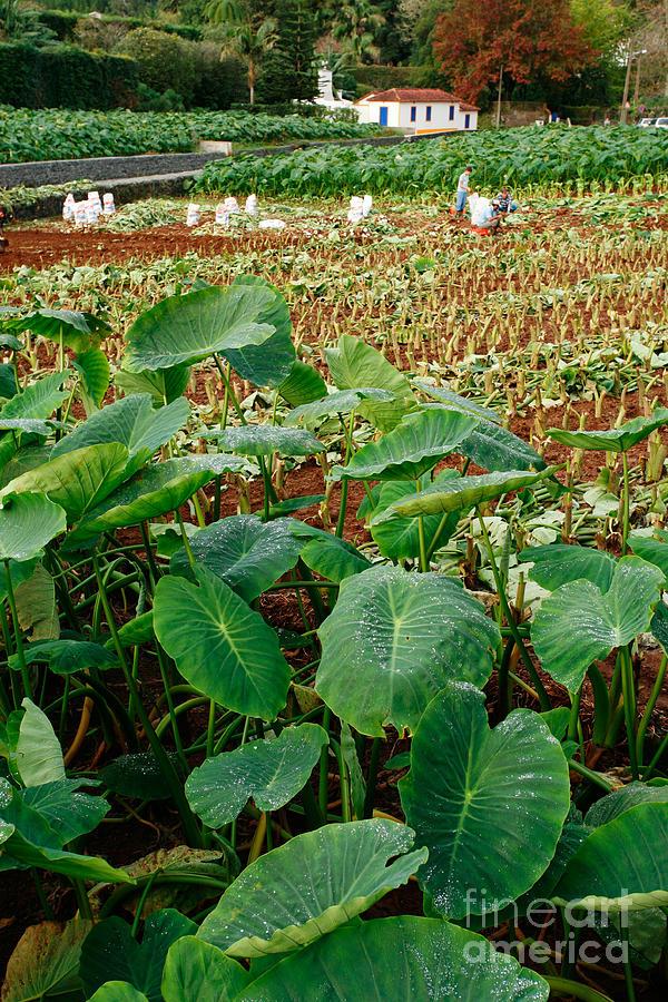 Agriculture Photograph - Yams Farm In Azores by Gaspar Avila