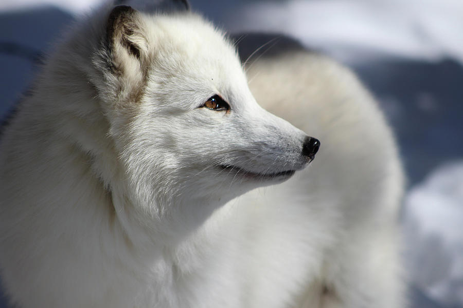 Arctic Fox Photograph - Yana The Fox by Azthet Photography