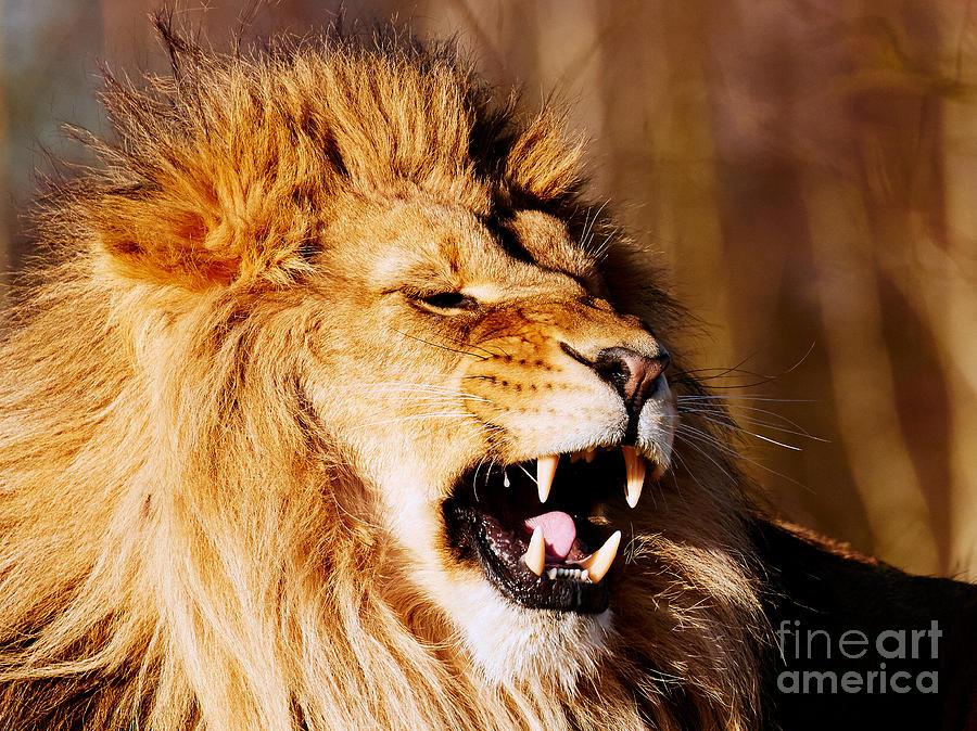 Yawning Lion Photograph