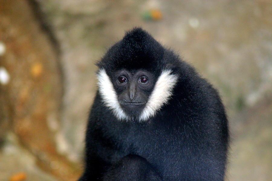 Monkey Photograph - Yea Yea Whats Next by ShadowWalker RavenEyes Dibler