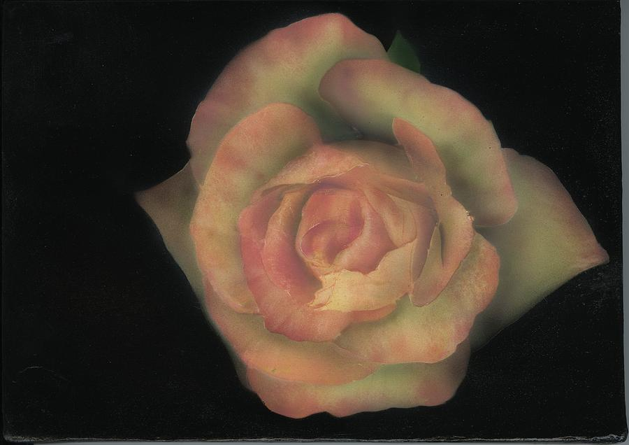 Rose Painting - Yello Rose by Charles Parks