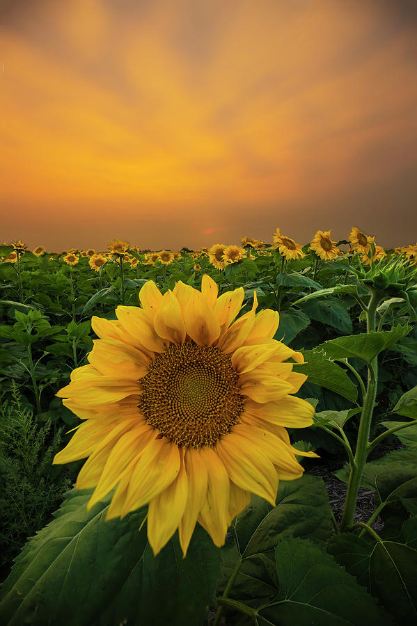 Sunflowers Photograph - Yellow by Aaron J Groen