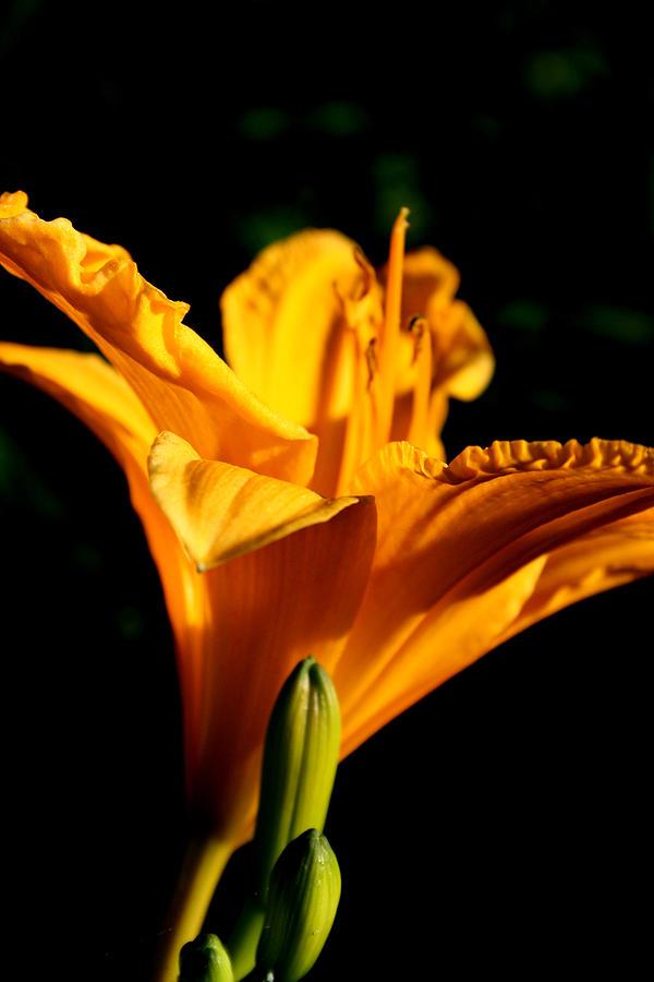 Flower Photograph - Yellow by Alexandra Harrell